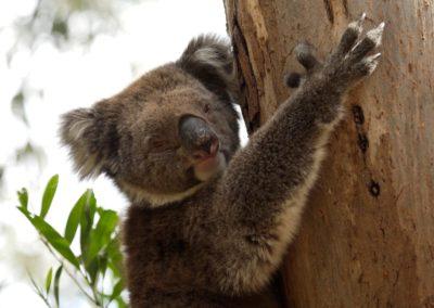 Koala_2_lg
