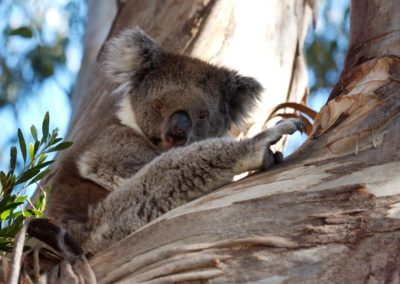 Koalas_lg